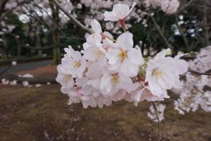 Körsbärsträden blommar för fullt.